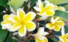My plumeria babies! Maui, HI