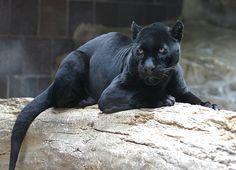 melanistic animal - Sök på Google
