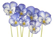 Blue Pansies – affordable wall mural