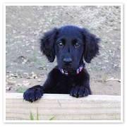 Flatcoated retriever pup; cute!