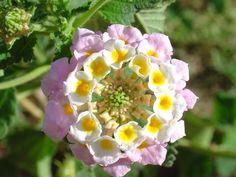 flores raras da india - Pesquisa Google