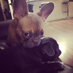 Little Frenchies, big ears