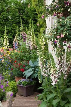 Digitalis Pam's Split foxglove and hanging pots containers of Fuchsia in front of house, hosta, pots containers of ageratum and dianthus and fuchsia, Alchemilla, Aquilegia in colorful spring garden backed by evergreen privacy hedge, summer