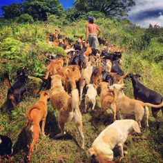 I just love the pictures from this animal rescue in Costa Rica - Territorio de Zaguates.   So many dogs (and some other animals) on a lot of land, with a lot of freedom and a lot of love.  All good :)