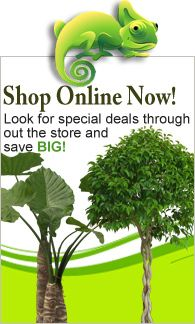 Great deals you purchase 2 or more palm trees or products. Buy Indoor Plants - Fruit Plants Online RealOrnamentals.com or RealPalmTrees.com #IndoorPalms #DIY2015 #PalmTrees #BuyPalmTrees #2015PlantIdeas #Summer2015Plants