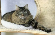 Rain, a female striped Maine Coon and Tabby Brown mix in Washougal, Washington looking for a forever home.  Contact adoptions@wcghs.org for more information on adoption or fostering.
