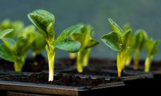 Broad bean seedlings