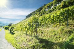 Weinrebe Vineyard, Landscapes, Country Roads, Nature, Pictures, Outdoor, Photos, Photo Illustration, Paisajes