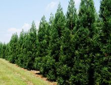 Japanese Cedar (Cryptomeria Radicans)--this fast growing tree (3-5 ft per year) thrives on neglect! My kind of tree!