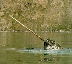 Hello Mr. Narwhal