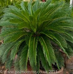 Cycas revoluta - lovely but not hardy