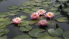 Find images and videos about pink, flower and lotus on We Heart It - the app to get lost in what you love. The Fall 2006, Lily Painting, Lotus Pond, Modern Disney, Lily Pond, Botany, Watercolor Flowers, Flower Art, Photo Art