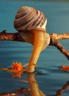 SNAIL: Looks cute, but it's taking a drink after spending the night ravaging my garden!! ... |cjk