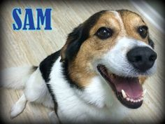 Looking for a sweet beagle buddy? Sam 2 year old beagle mix is looking for a home find out about him here http://www.ohiofuzzypawz.com/animals/detail?AnimalID=7176012. #beagles #rescue #adoption #dogs