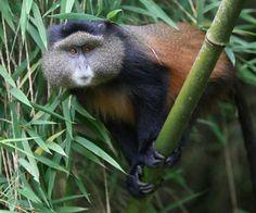 Golden monkey - Rwanda