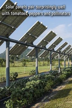 Solar panels pair surprisingly well with tomatoes, peppers and pollinators Event Driven Architecture, Technical Architecture, Architecture Jobs, Enterprise Architecture, Innovative Architecture, Renewable Energy, Solar Energy, Solar Power, Sustainable Energy