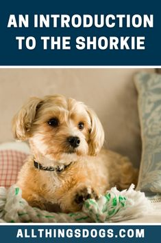 Ever wanted a Rottweiler, but, size was an issue? Well a Shorkie is the perfect alternative. This energetic pooch didn't receive the memo that he's actually classed as a small breed. A huge character in a small body. Read on to learn more about this dog.  #shorkie #shihtzuyorkiemix Shorkie Dogs, Cavachon, Yorkies, Miniature Dog Breeds, Palace Pets, Easiest Dogs To Train, Dachshund Mix, Terrier Breeds, Shih Tzu Dog