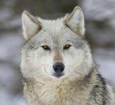 Image result for beautiful silver wolves