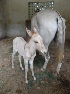 Mule. Marwari horse crossed with a  donkey! He even has curly ears! | Travelling Vet Student | Off Exploring