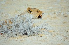 NAMIBIA ... The Lioness I