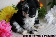 blue merle toy schnauzer by spoiled rotten schnauzers