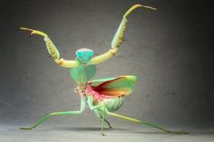 A giant Malaysian shield praying mantis. A praying mantis appears to dance or adopt a kung-fu pose in this picture captured by Igor Siwanowicz at his home studio in Munich, Germany. Wild Life, A Bug's Life, The Animals, Wild Animals, Green Animals, Small Animals, Forest Animals, Baby Animals, Beautiful Creatures