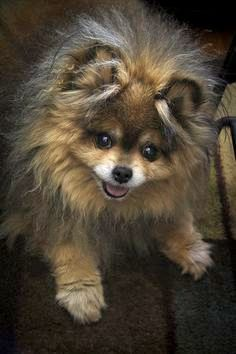 Pomeranian! Willy! Pinned by pinner