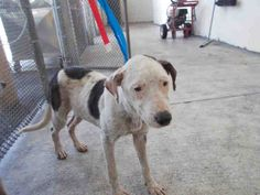 ONLY 3 SHARES and in DANGER - LUNA  (A1604861) I am a female white and brown Terrier mix.   The shelter staff think I am about 1 year old.   I was found as a stray and I may be available for adoption on 04/07/2014. — hier: Miami Dade County Animal Services. https://www.facebook.com/urgentdogsofmiami/photos/a.217635851604159.64709.191859757515102/746516748716064/?type=3&theater