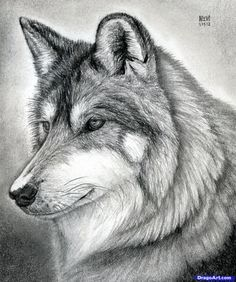 how to draw a wolf head, mexican wolf