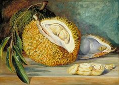 Marianne North (1830–1890) Durian Fruit from a Large Tree Sarawak Borneo