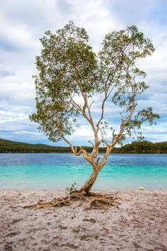 The famous heart shaped tree at Lake Mackenzie - one of the best things to do on Fraser Island in Australia