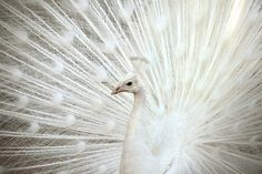By Macropixel. White peacock with its feathers opened up.