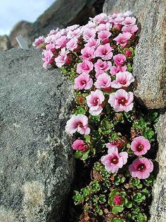 The saxifrage Saxifraga lowndesii from Nepal. Photo by A.E./Arctic University of Norway. Arctic-Alpine Botanical Garden, Tromsø, Norway, the most northern botanical garden in the world and home to an impressive display of Arctic and alpine plants from across the globe.