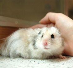 Google Image Result for http://www.grandmashomeremedies.com/wp-content/uploads/Chinese-Hamster-1-300x262.jpg