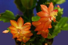 Christmas Cactus - ORANGE DRAGON BEAUTY - Easter Succulent - 5 Double Segments | eBay