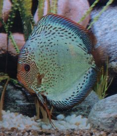 The Stendker Flachen Discus Fish is a Solid Green Discus Fish with a Snakeskin face. These are a very popular and unique Discus Fish. Discus Aquarium, Discus Fish, Tropical Freshwater Fish, Freshwater Aquarium Fish, Rare Fish, Fish Home, Cool Fish, Angel Fish, Beautiful Fish