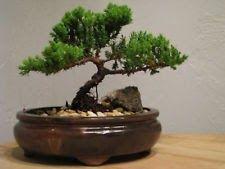 Bonsai Tree LIVE Juniper Flowering House Plant Indoor Decoration Zen Garden