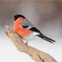 Bullfinch (L:Pyrrhula pyrrhula /N: Dompap) Kinds Of Birds, All Birds, Cute Birds, Pretty Birds, Little Birds, Beautiful Birds, Animals Beautiful, Exotic Birds, Colorful Birds