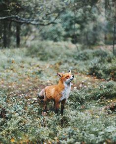 Beautiful fox. This