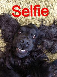 cocker spaniel selfie!