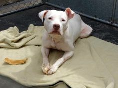 SAFE!  - Manhattan Center    EVA - A0995346  *** SAFER: AVERAGE HOME ***   FEMALE, WHITE, PIT BULL MIX, 3 yrs  STRAY - EVALUATE, NO HOLD  Reason STRAY   Intake condition NONE Intake Date 04/01/2014, From NY 10455, DueOut Date 04/04/2014
