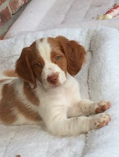 Brittany Spaniel Pup ~ Classic Look