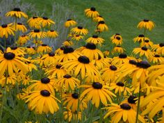 Black Eyed Susan Cake by Katica Perrenial Flowers, Flowers Perennials, Planting Flowers, Black Eyed Susan Flower, Susan Black, Annual Flowers, Garden Living, Plantation, Flower Seeds