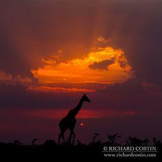 Giraffe and the Mara Light - Giraffe against a classic Mara sunset taken on one of my African Mara Big Cat workshops.