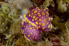Reproduction des nudibranches / nudibranchs reproduction