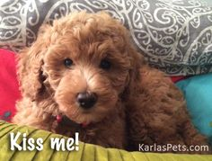 This is the cutest Labradoodle I have ever seen!  It seriously looks like it could be a stuffed animal!  When I get a bigger house, I'm definitely going to make sure I get a dog like this; they're just so pretty!