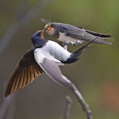 Barn swallow (Hirundo rustica) adult feeding insect to chick on branch, Sipoo, Finland