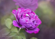 Magenta Rose by MariSosa