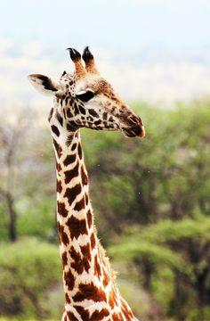 """BItch Please"".  A Giraffe in Tsavo West, Kenya, Africa by Lovisa Wistrand"
