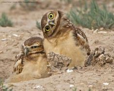 The Winners Of The 2019 Comedy Wildlife Photography Awards Are In! Images) - The Winners Of The 2019 Comedy Wildlife Photography Awards Are In! Comedy Wildlife Photography, Photography Awards, Animal Photography, Photography Photos, Funny Owls, Funny Animals, Cute Animals, Burrowing Owl, Beautiful Owl
